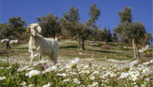 Mera İzmir projesi ile hem çocukların et ihtiyacı karşılanacak hem de meralar korunacak