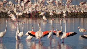 İzmir'in yavru flamingoları dünyaya gözlerini açtı